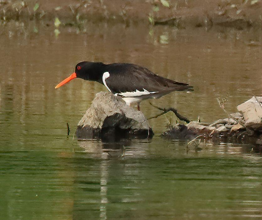 Кулик-сорока на охоте кулик-сорока птица