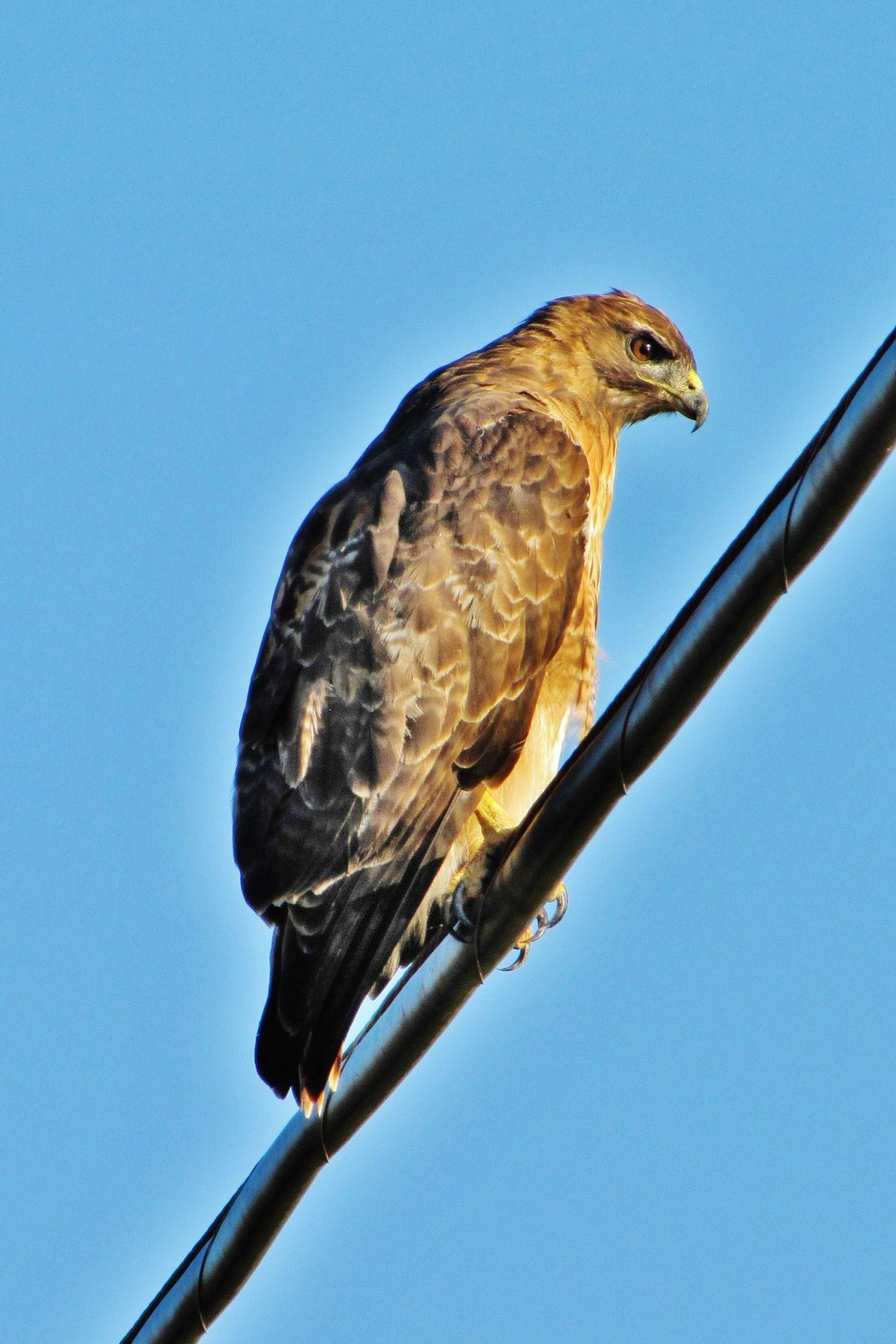 Краснохвостый сарыч краснохвостый сарыч хищная птица ястреб red-tailed hawk red-tail buteo jamaicensis bird of prey chickenhawk