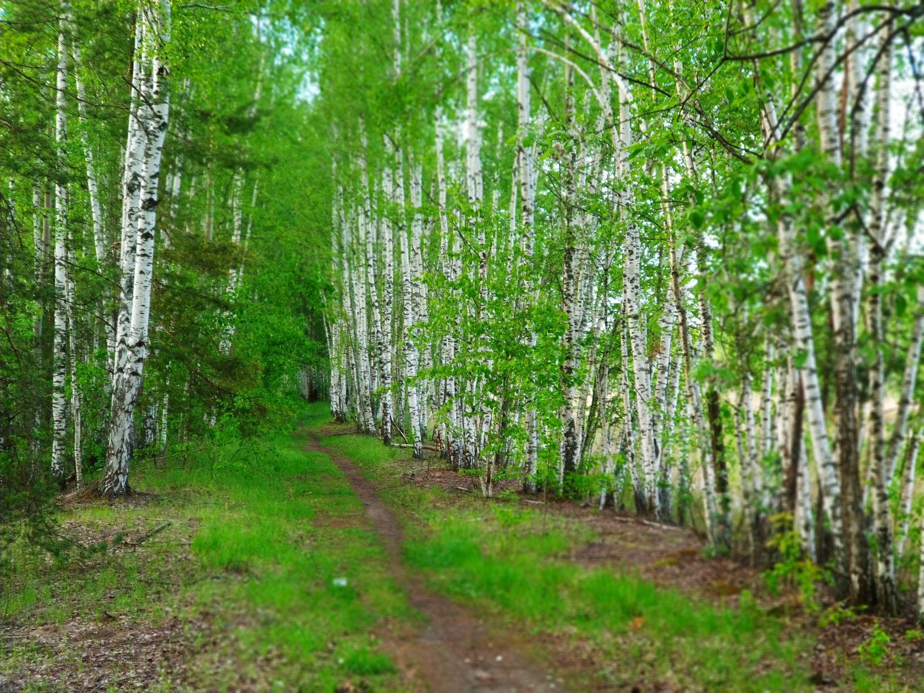 Березки Природа лес лето мобильное