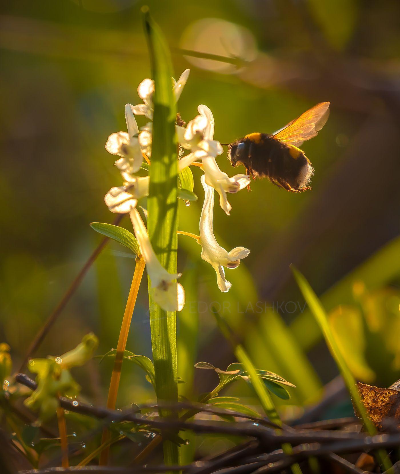Шмель Ставропольский край цветы природа флора хохлатка цветок первоцветы в лесу весна насекомые шмель рассвет