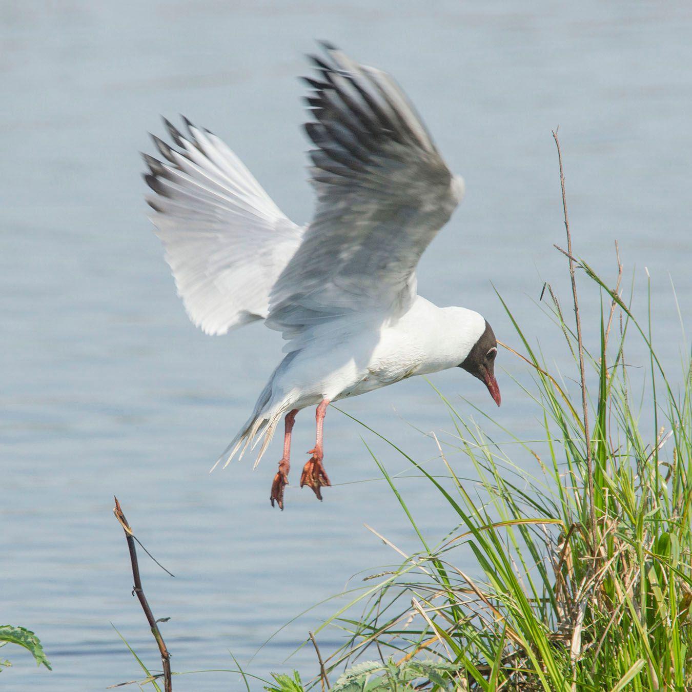 Озёрная чайка. Лосиный остров