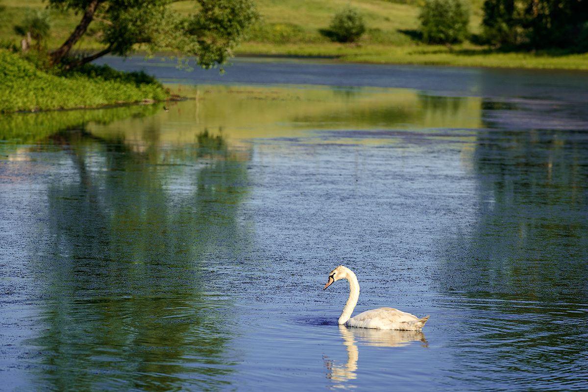 На озере... Лето пруд лебедь
