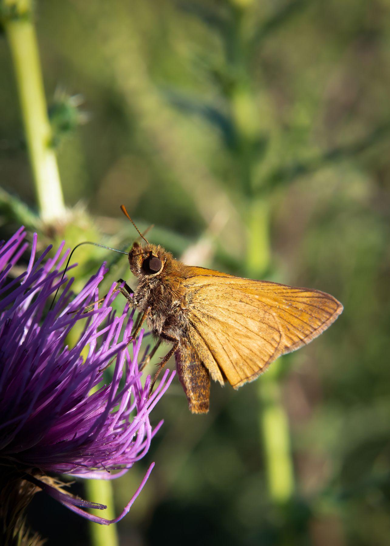 Малышка толстоголовка Толстовка бабочка