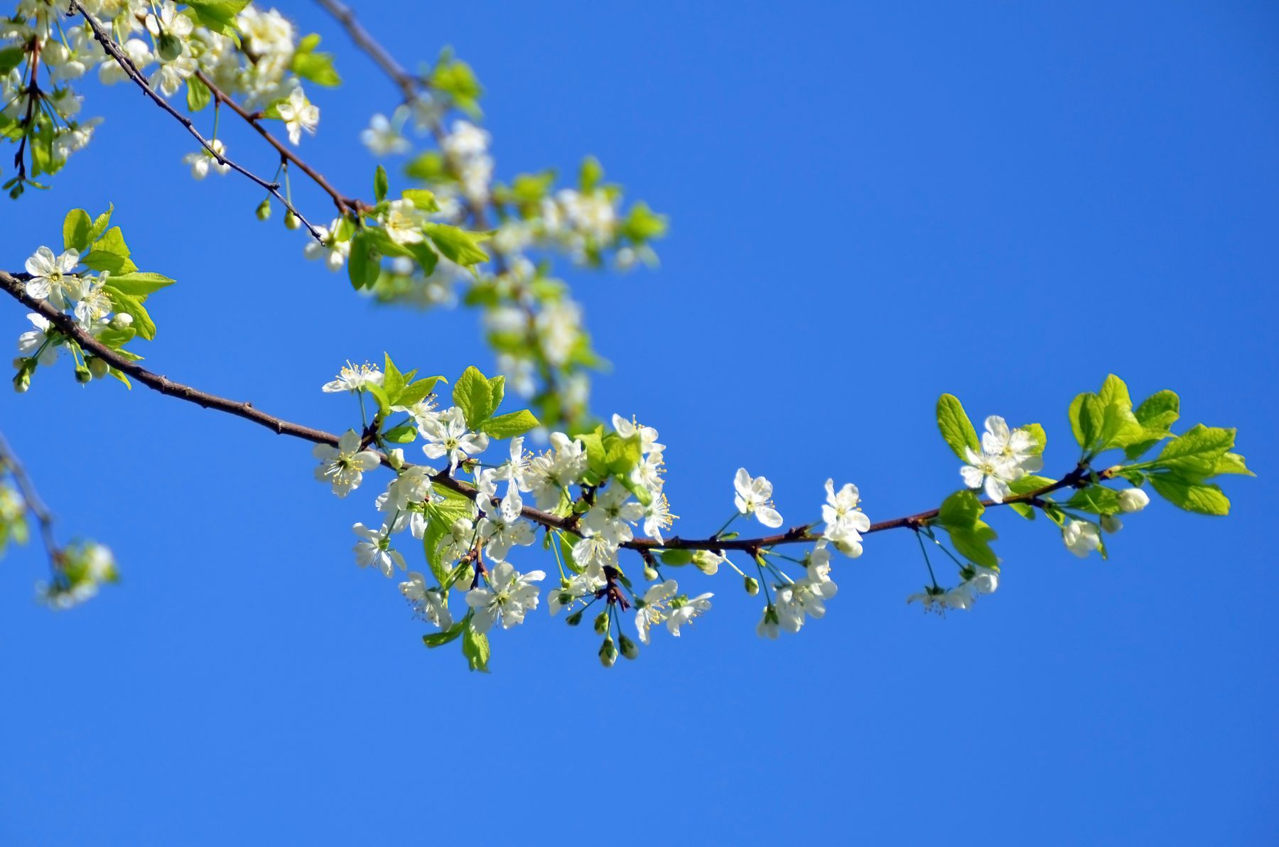 Ветка вишни ветка вишни цветы цветение весна