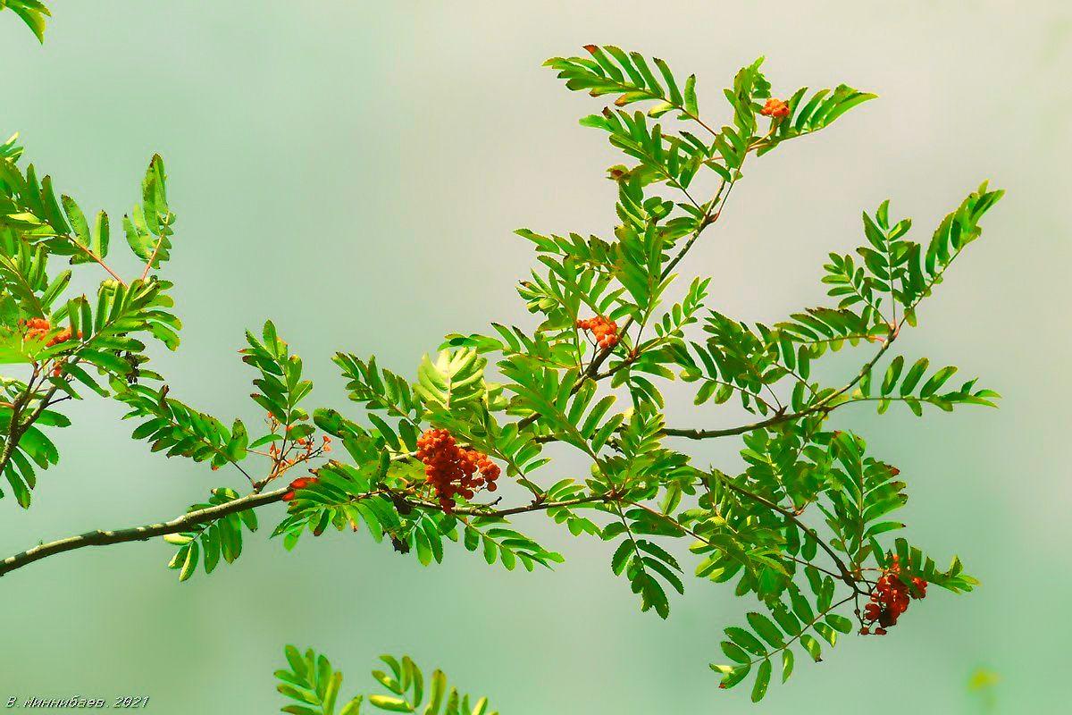 Ветка рябины красной природа осень растения рябина