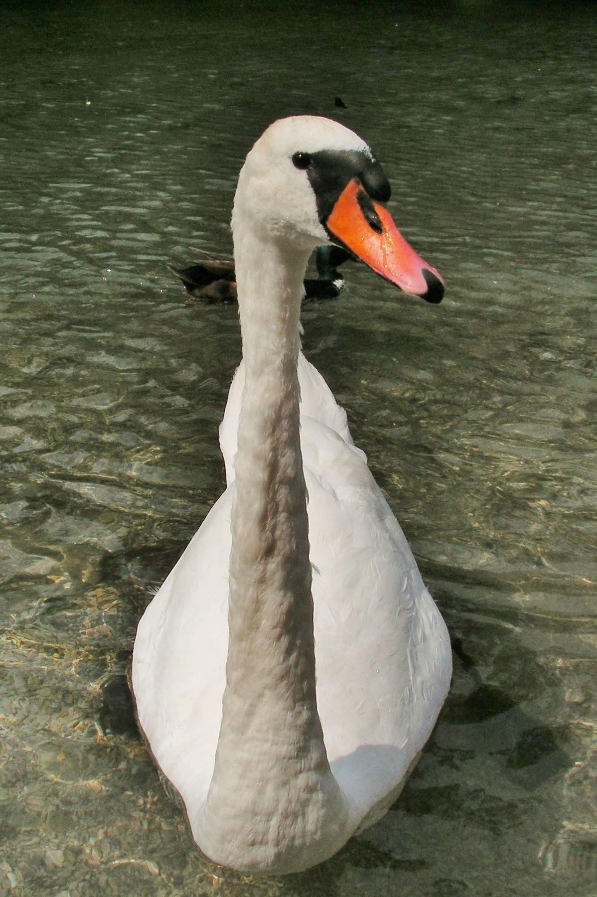 Лебедь-шипун лебедь лебедь-шипун птица mute swan cygnus olor bird waterfowl