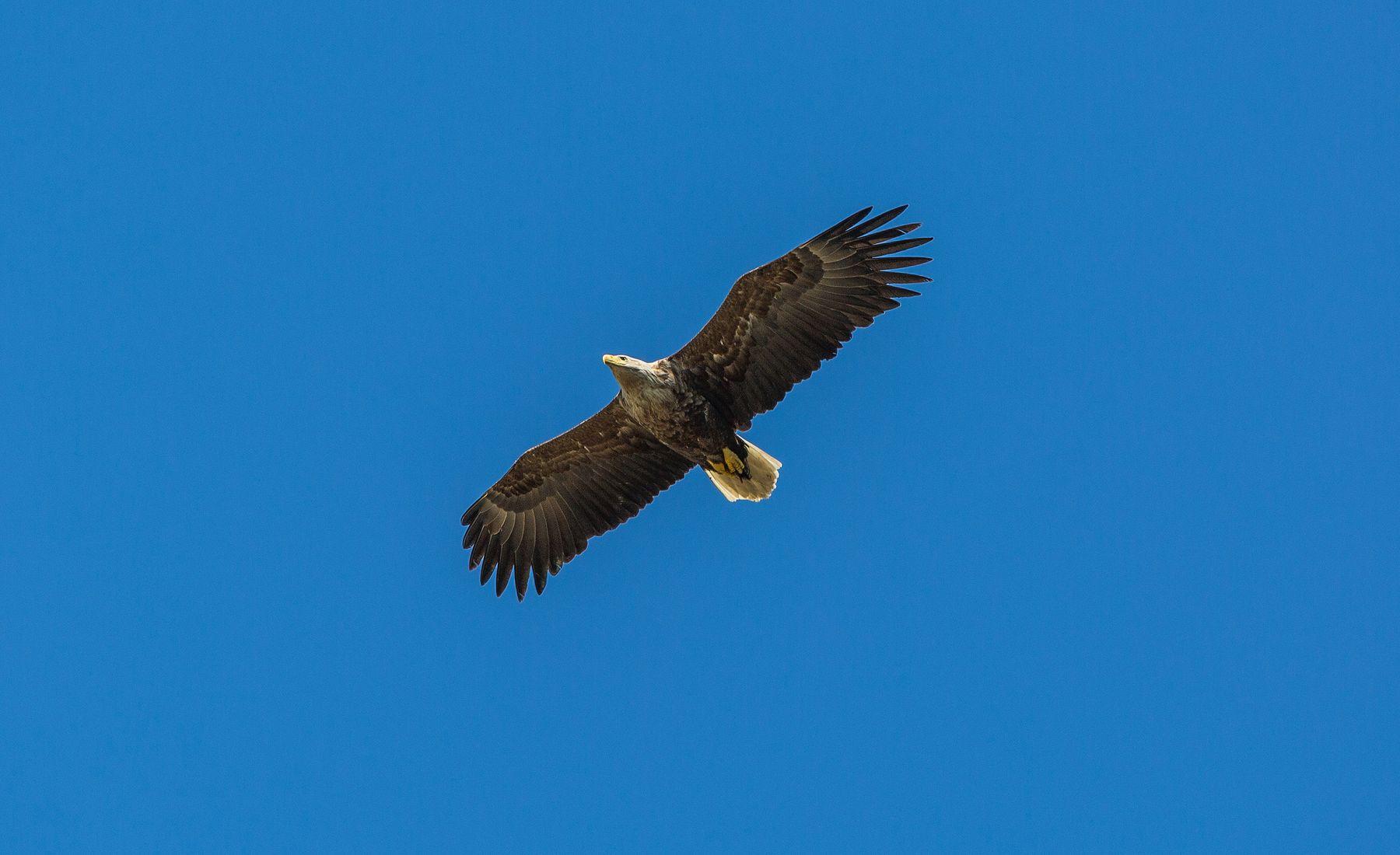 Птичка... Орлан белохвостый