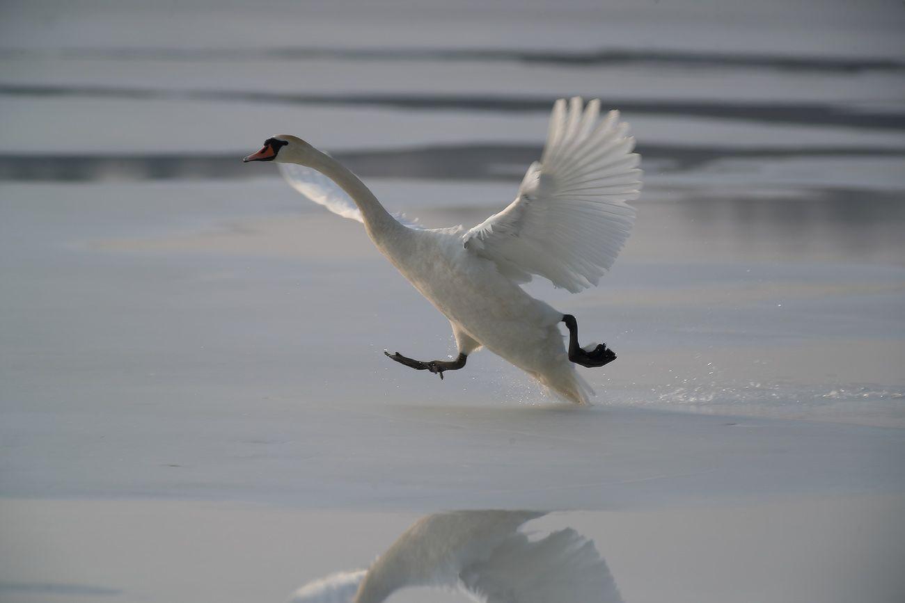 разбег, толчок ... лебедь птица полет крылья весна март озеро
