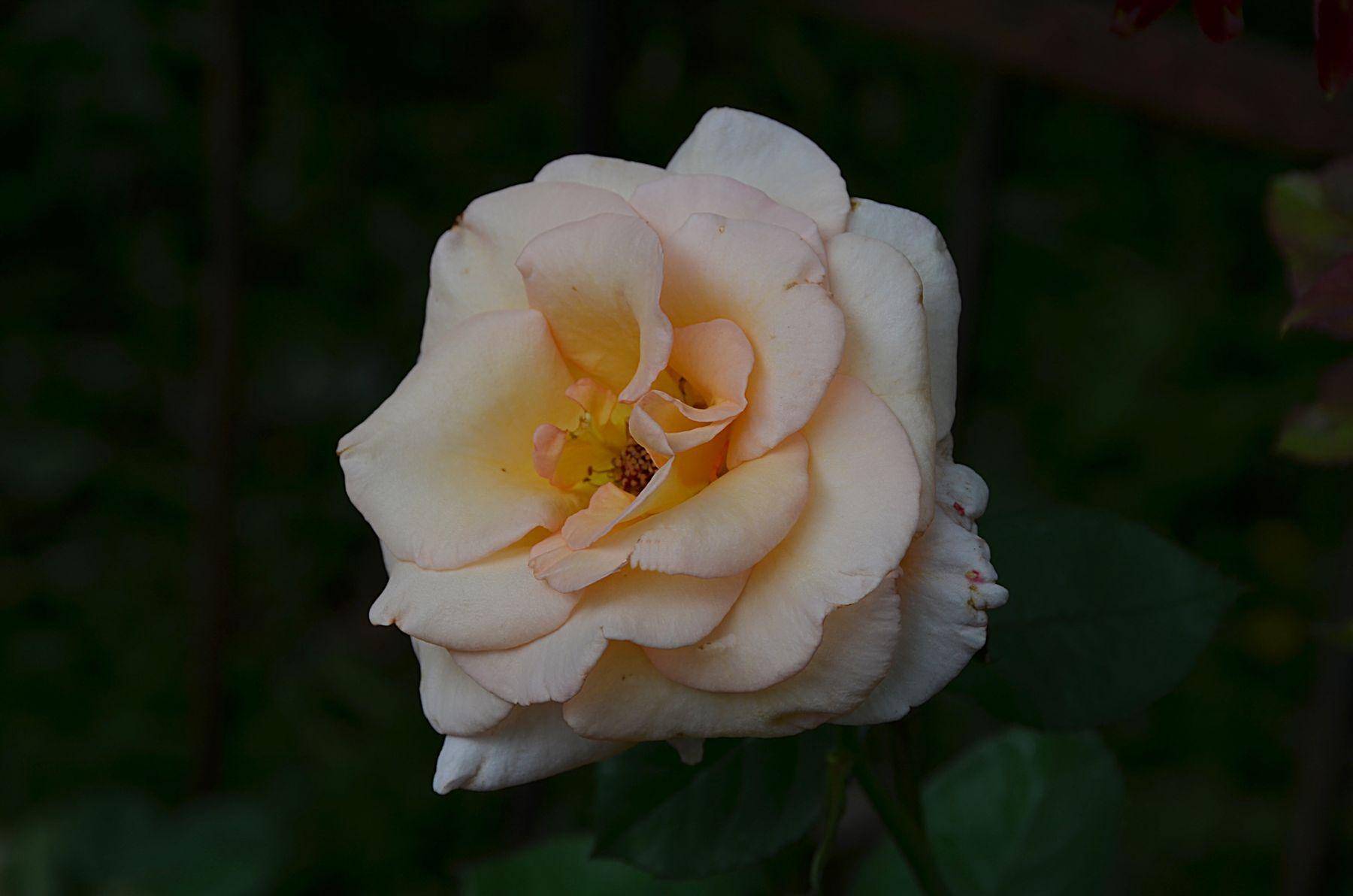*** Москва макро цветы лето розы