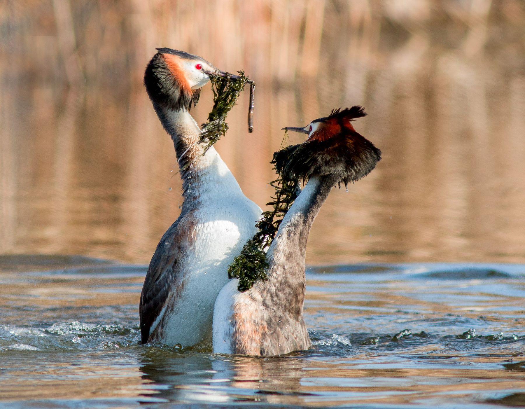 Танец чомга фотоохота птицы