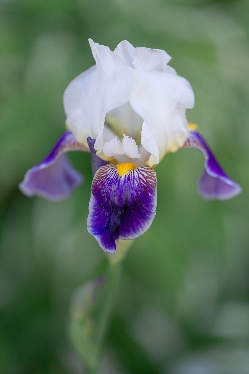 *** белый цветы растения макро вечер заказ ирис красота крупный план цветок цветение весна природа