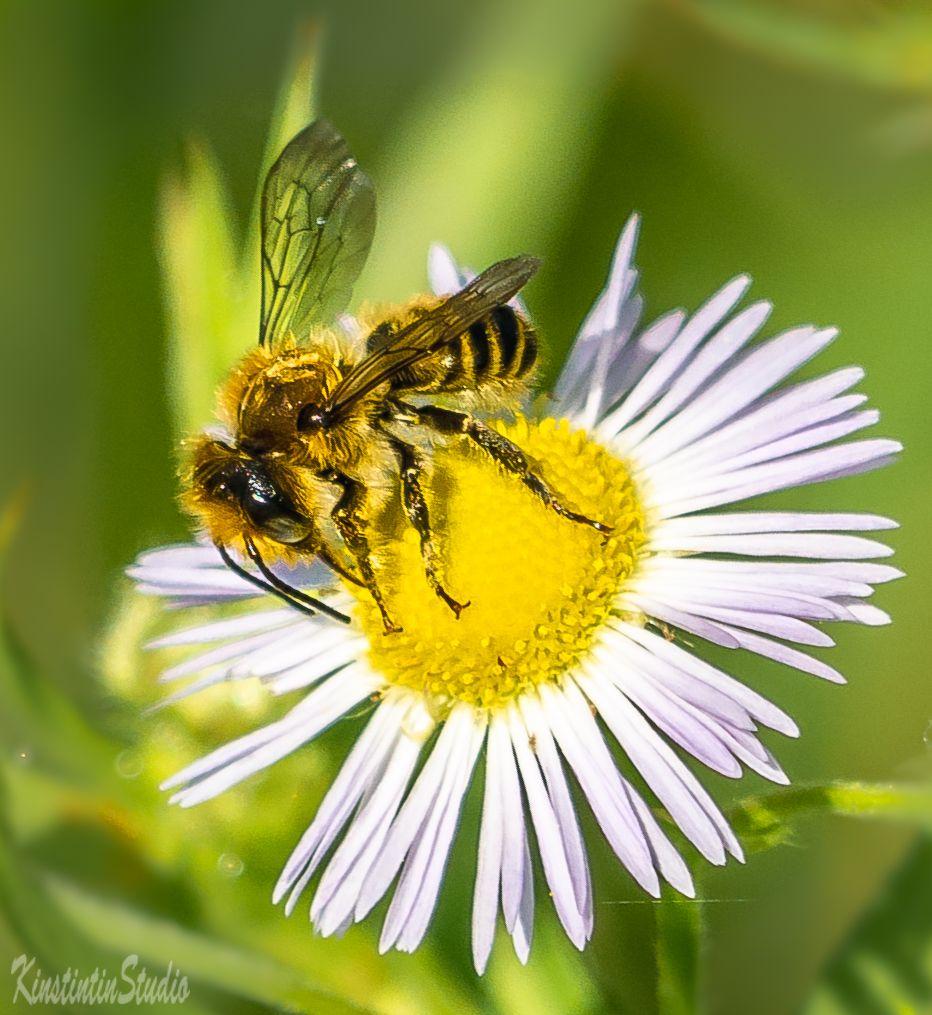 ПЧЕЛА НА РОМАШКЕ... пчела ромашка лето июнь