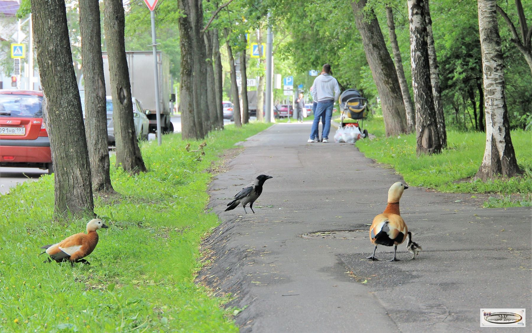 Нечего тебе, ворона, здесь делать - тут с детьми гуляют! утки утёнок ворона прогулка