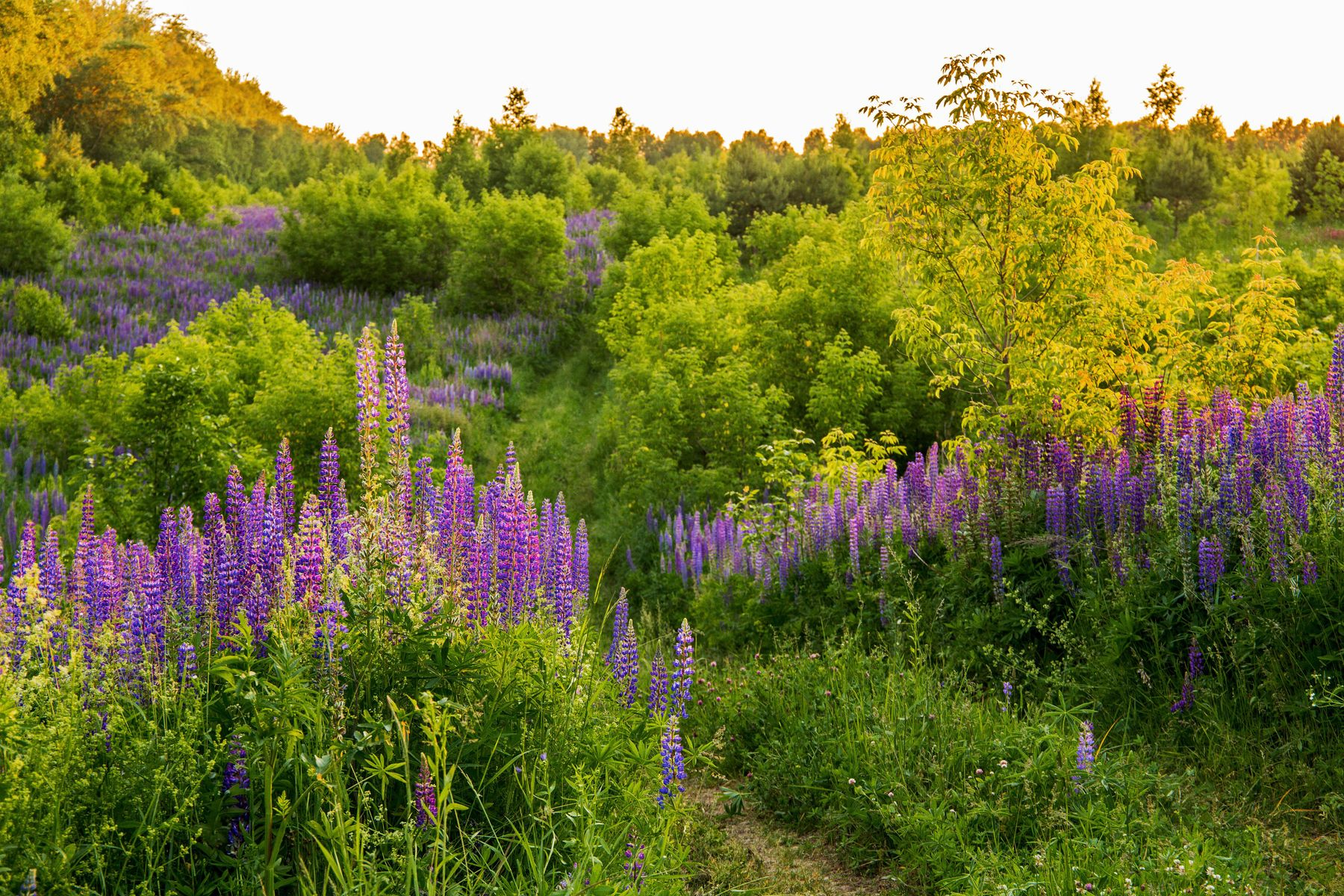 Люпины природа пейзаж татарстан новая тура лето вечер люпины