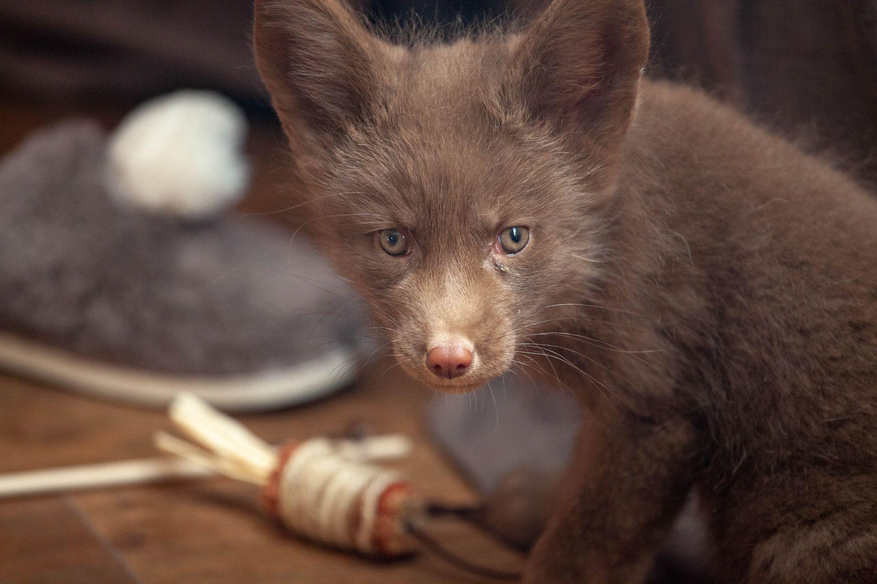 FOX лиса