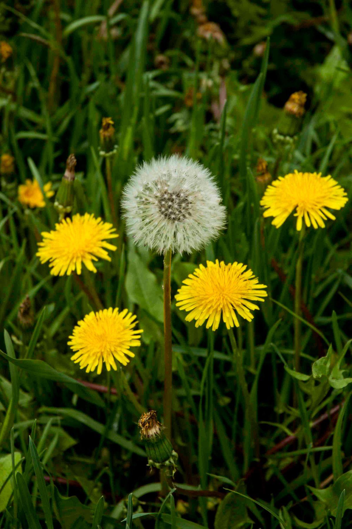 Одуванчики. весна природа цветы