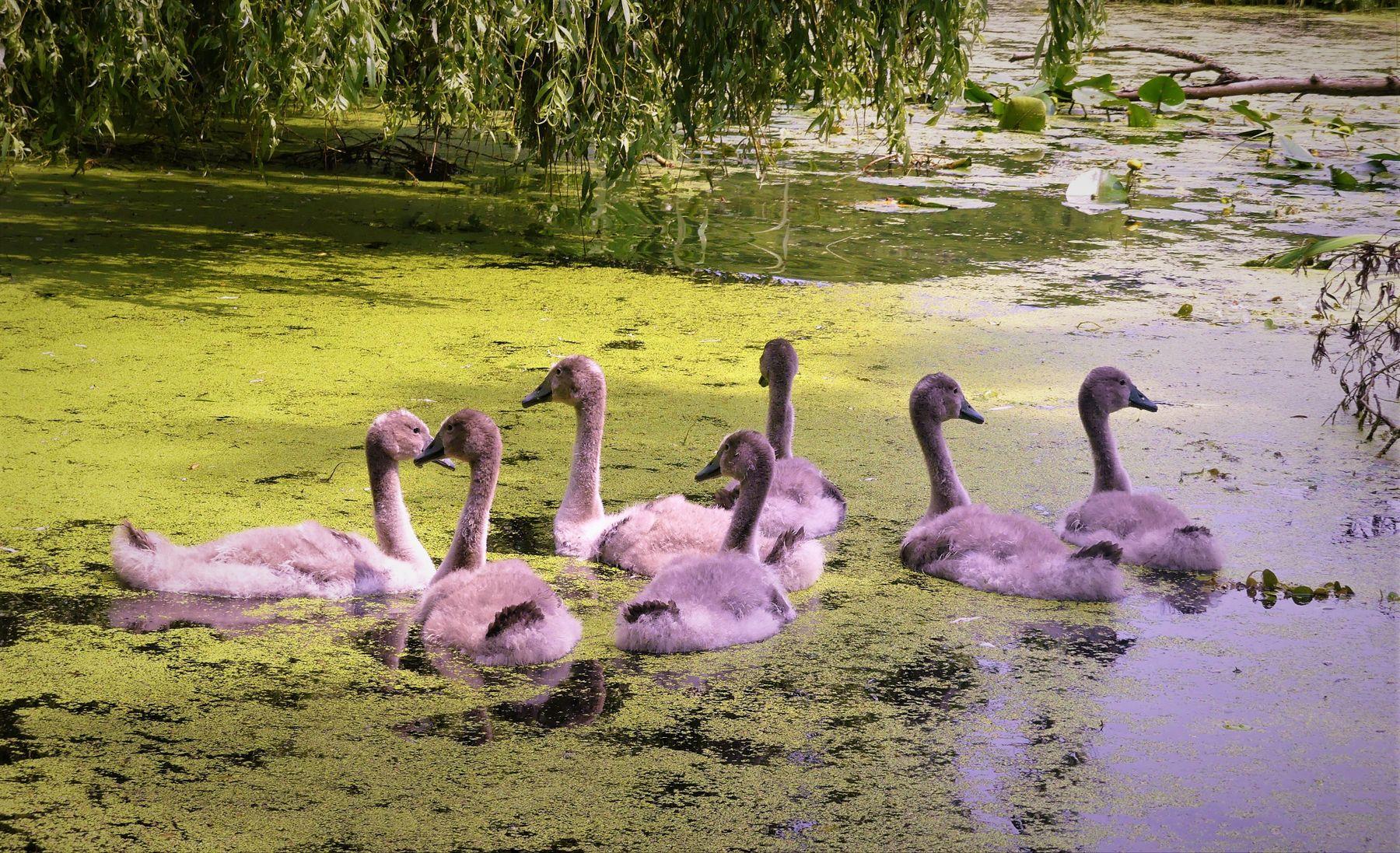Лебедята Детёныши лебедей