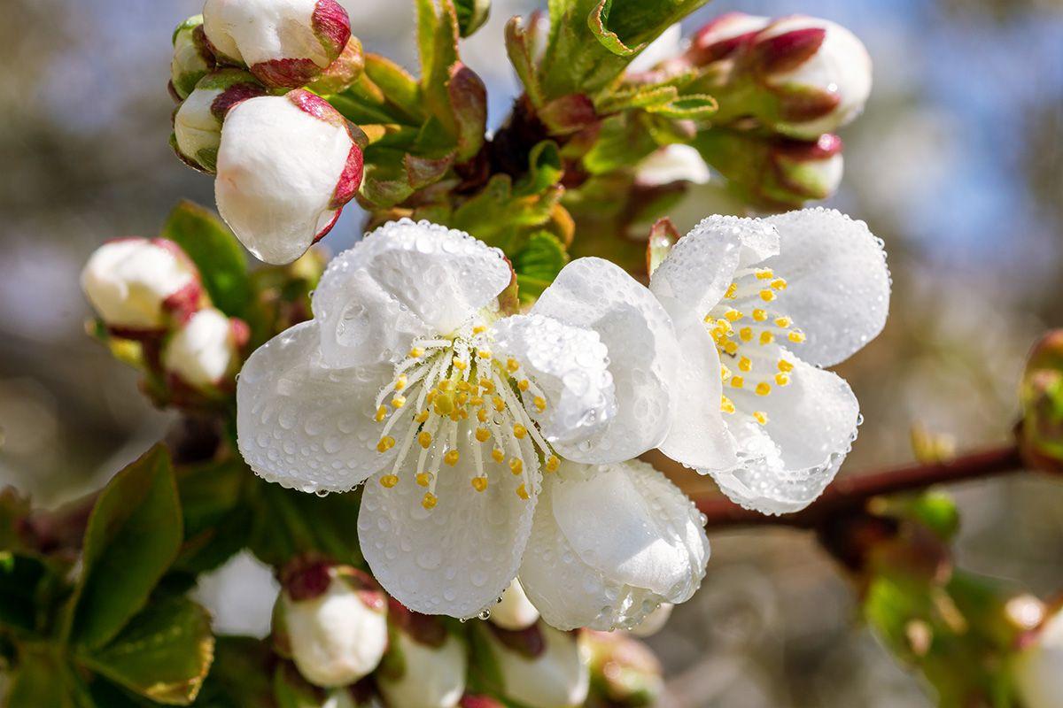 Цветы вишни после грозы цветы вишни в каплях дождя