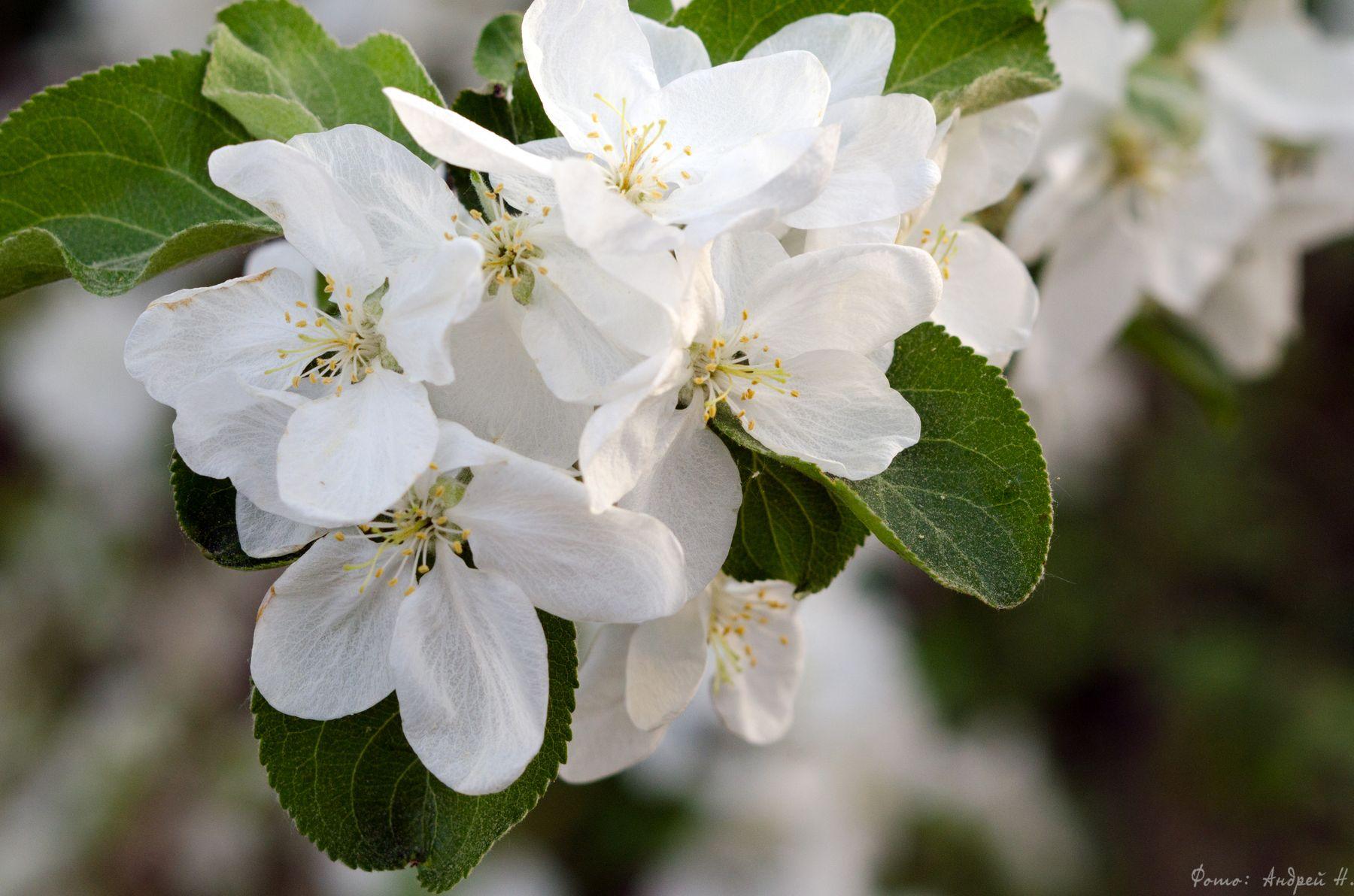 Весеннее Яблоня цветок листья весна макро