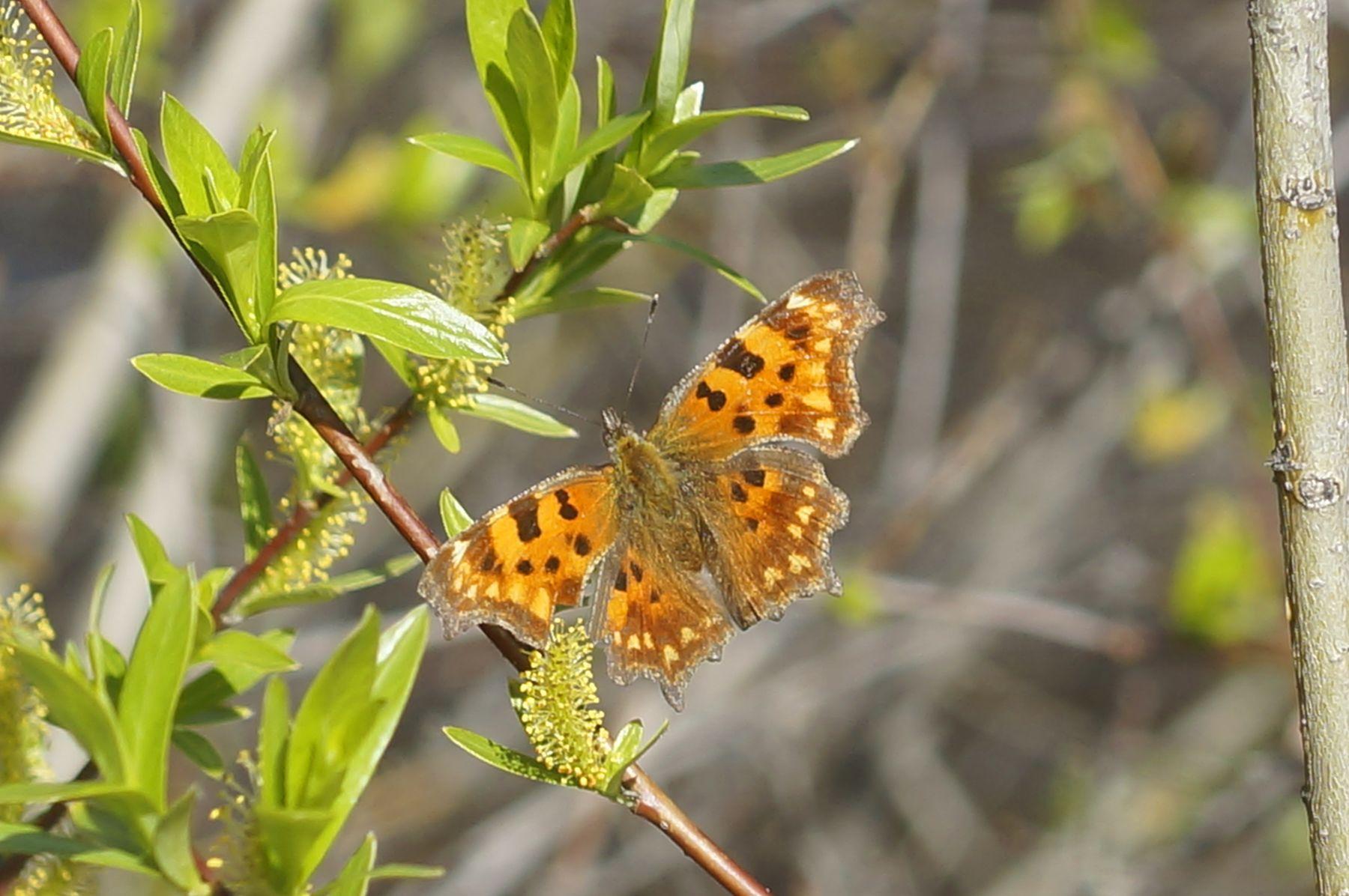 Углокрыльница бабочка углокрыльница весна лес верба