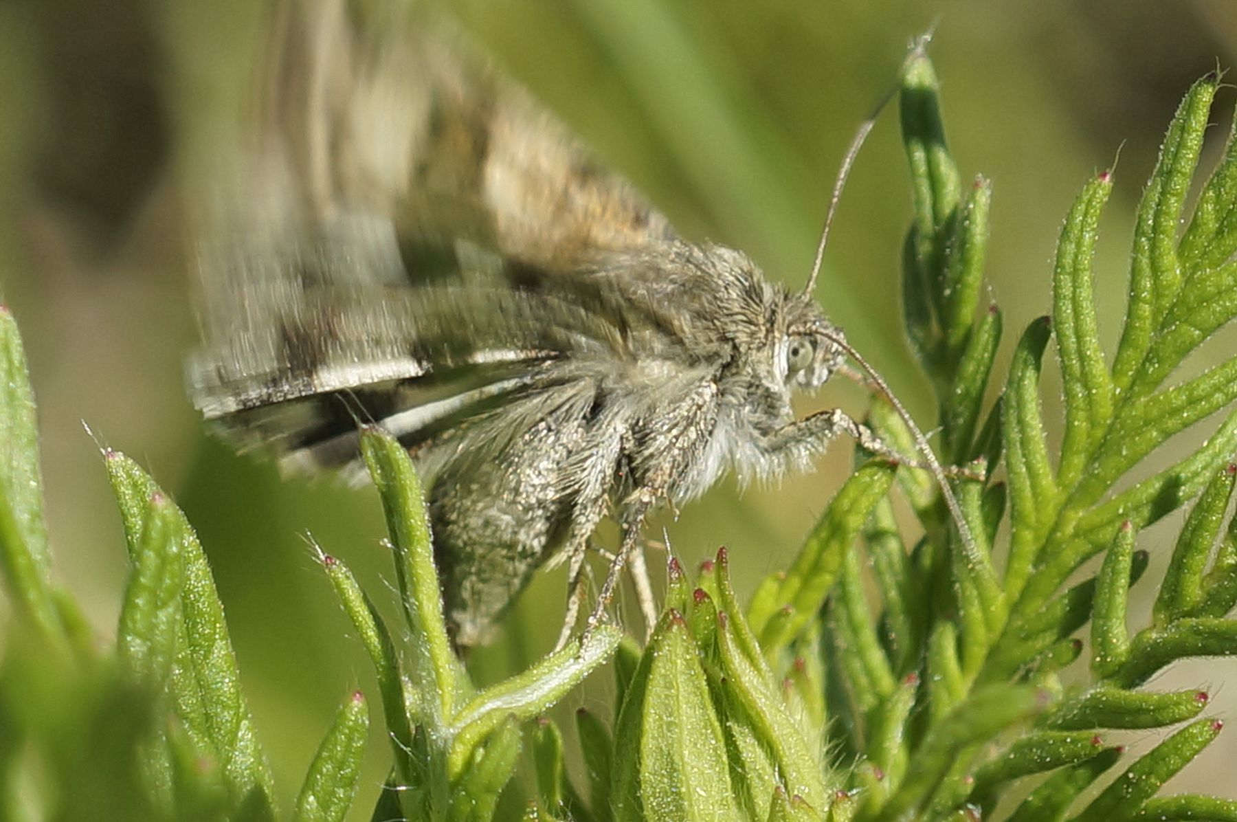 Люцерновая совка люцерновая совка бабочка лето трава лес