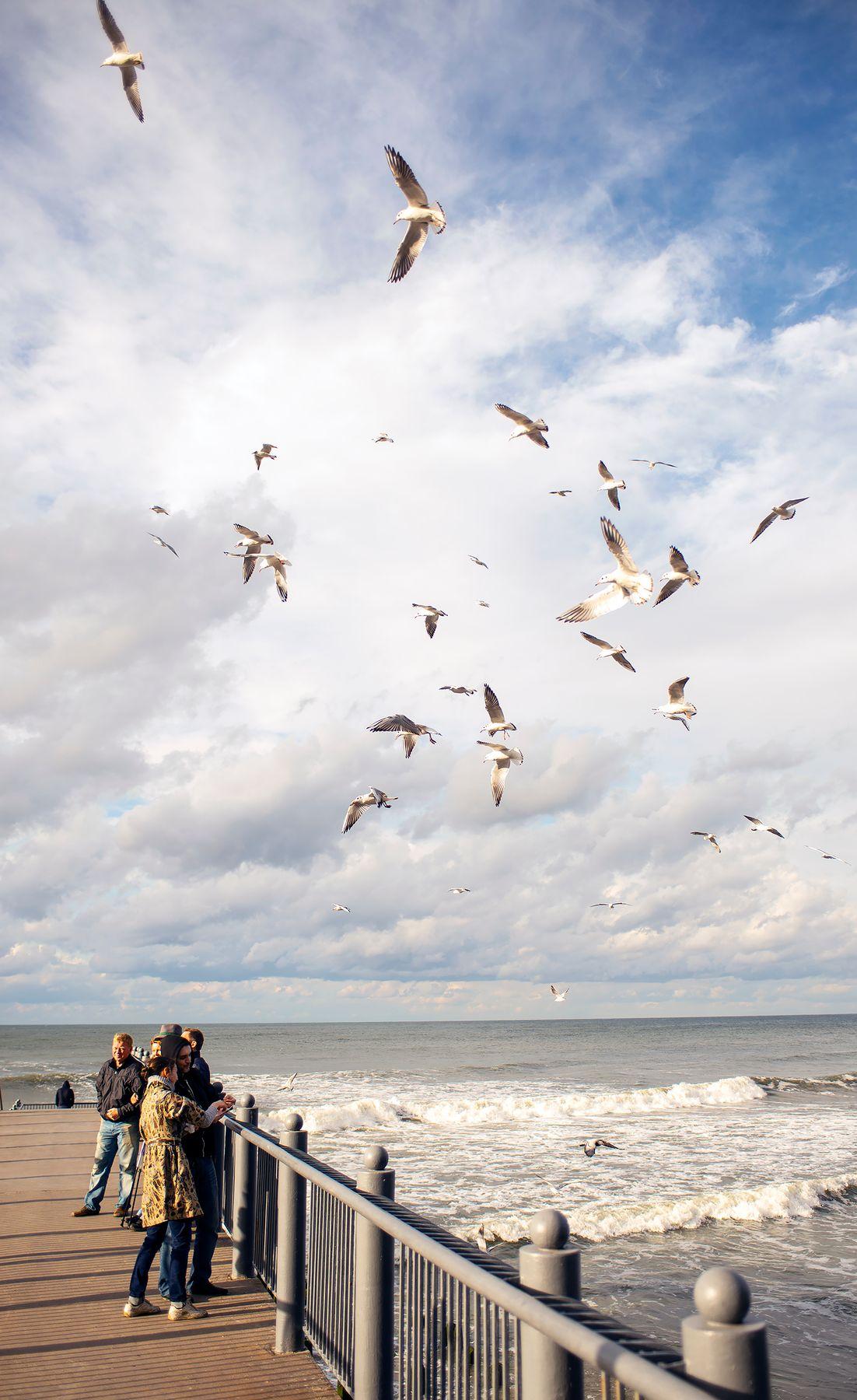 Чайки Балтийского моря.