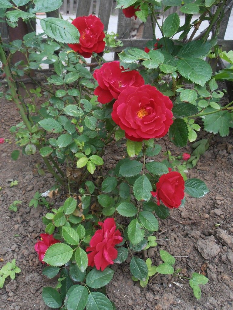 Розовый куст цветы сад дома лето