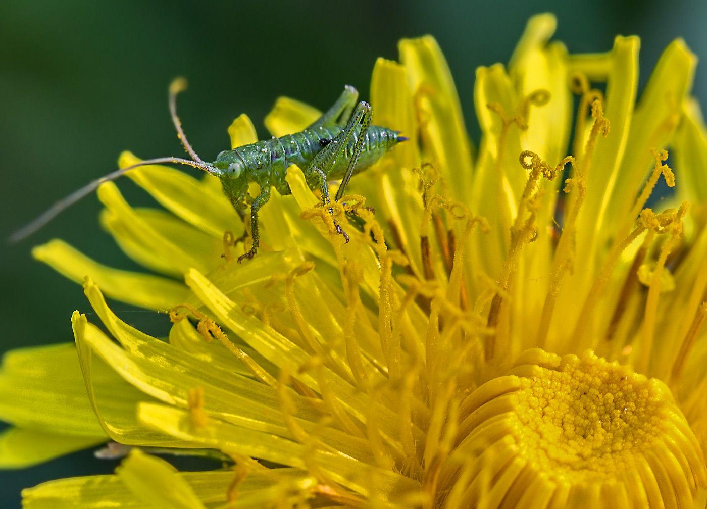 Мелкота... насекомые кузнечик нимфа цветок одуванчик весна май