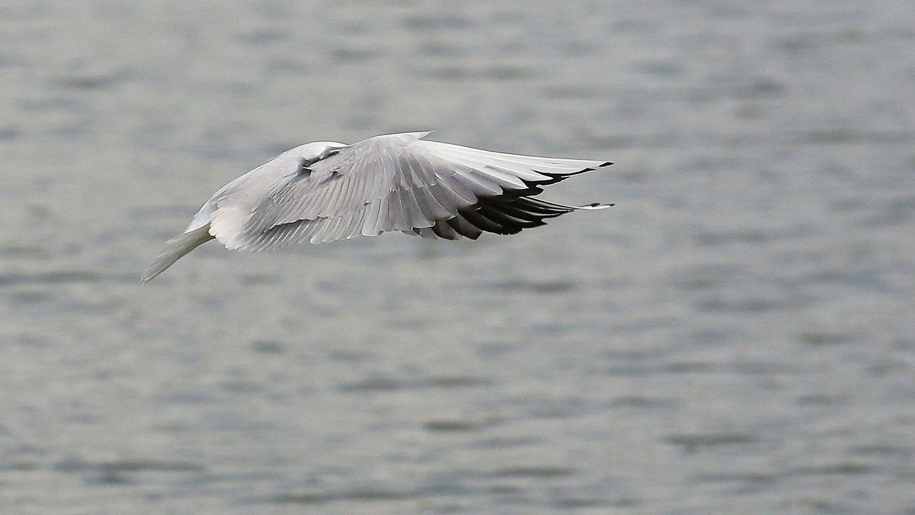от белого к чёрному / природный градиент серого озёрная чайка птицы Chroicocephalus ridibundus