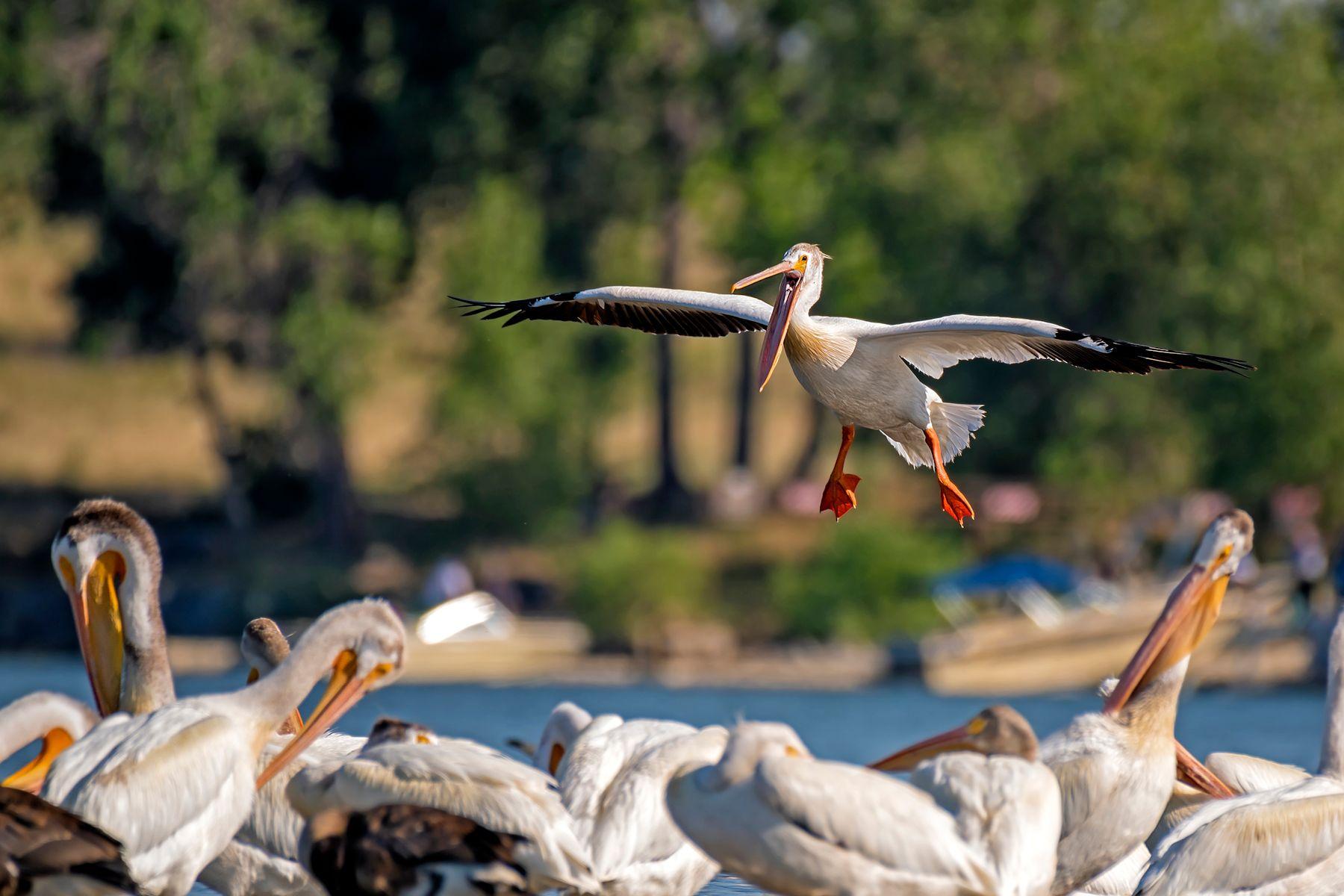 Аварийная посадка пеликан птицы озеро в полете