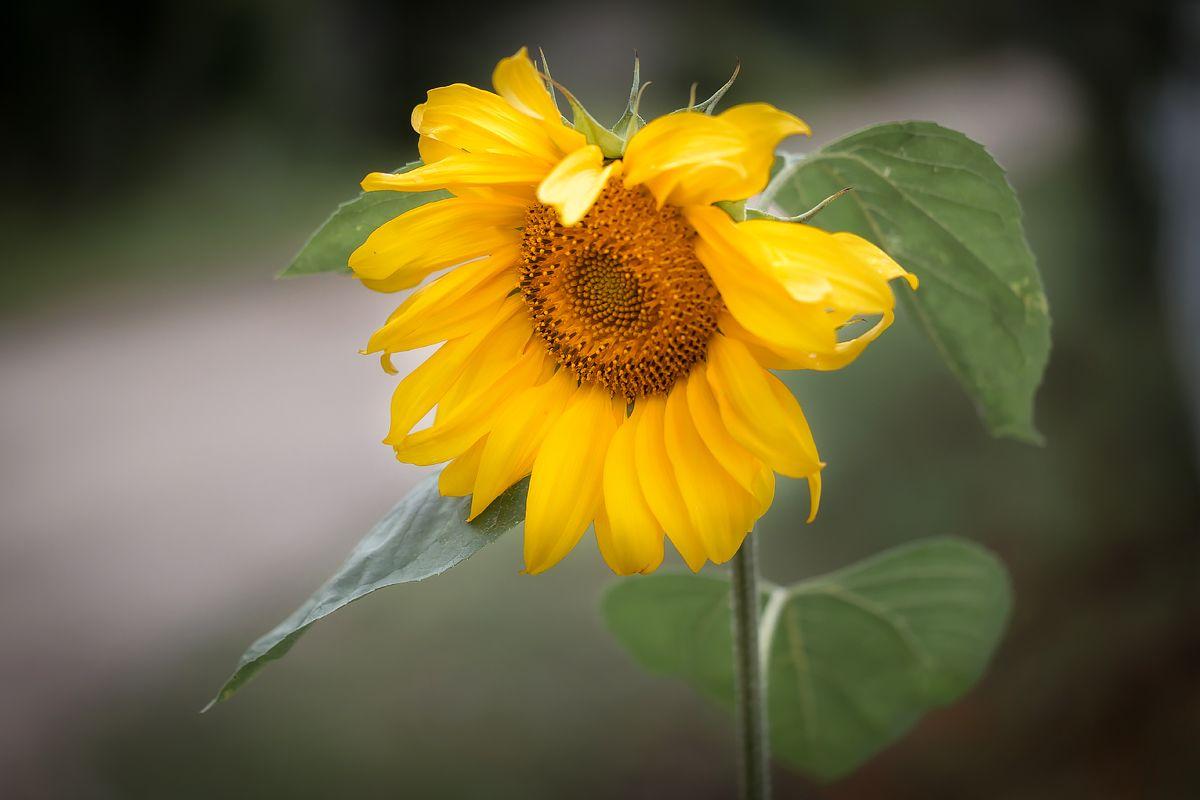 *** подсолнух цветок семечки лето растение природа макро красота лепестки желтый цвет контраст