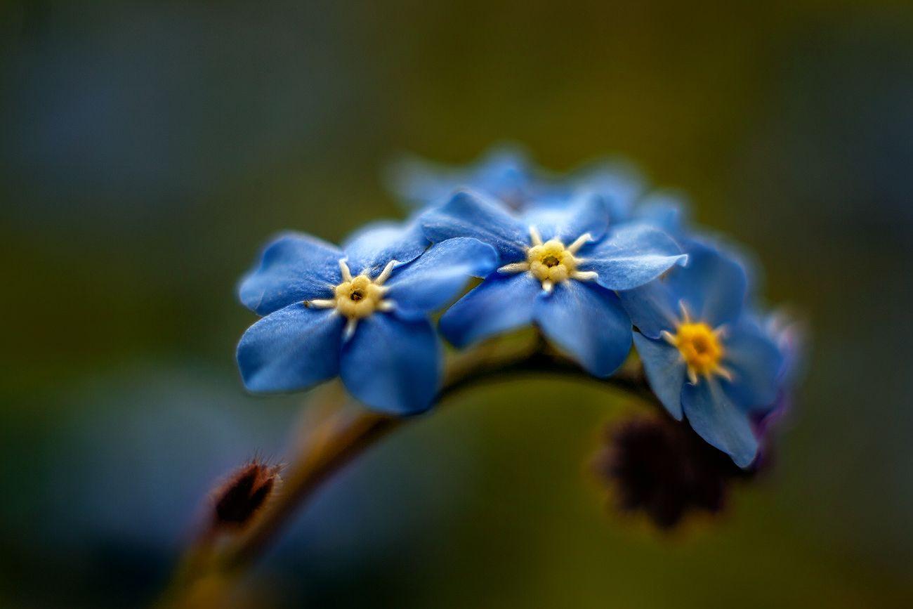 Незабудка весна красота макро Глубокое Беларусь незабудка