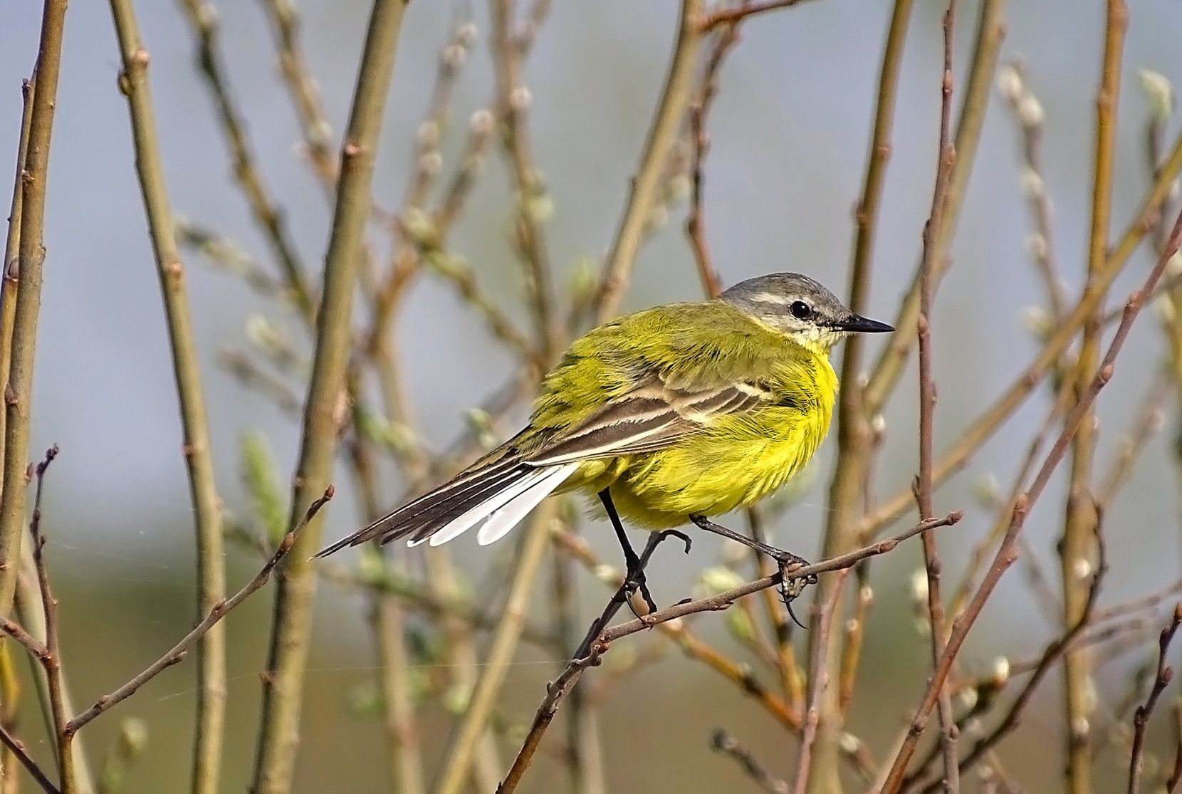 Желтая трясогузка Сибирь дикие птицы желтая трясогузка