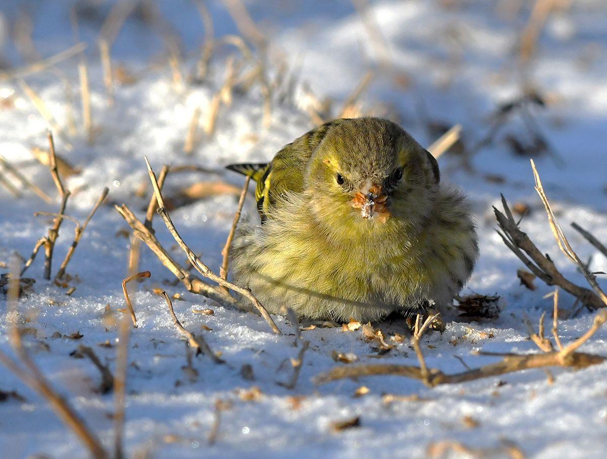 Зимнее  солнышко.  Чижи птицы чижи