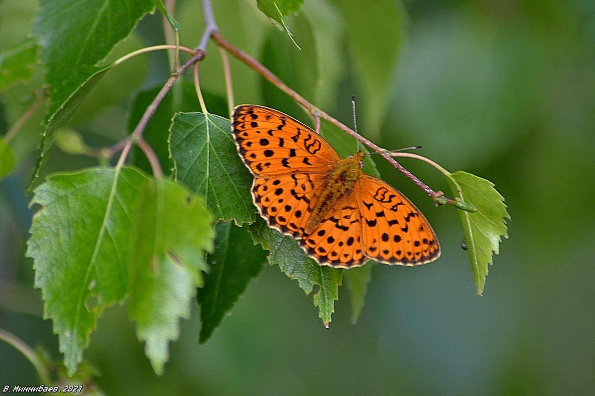 Летний этюд с бабочкой природа лето лес берёза бабочка