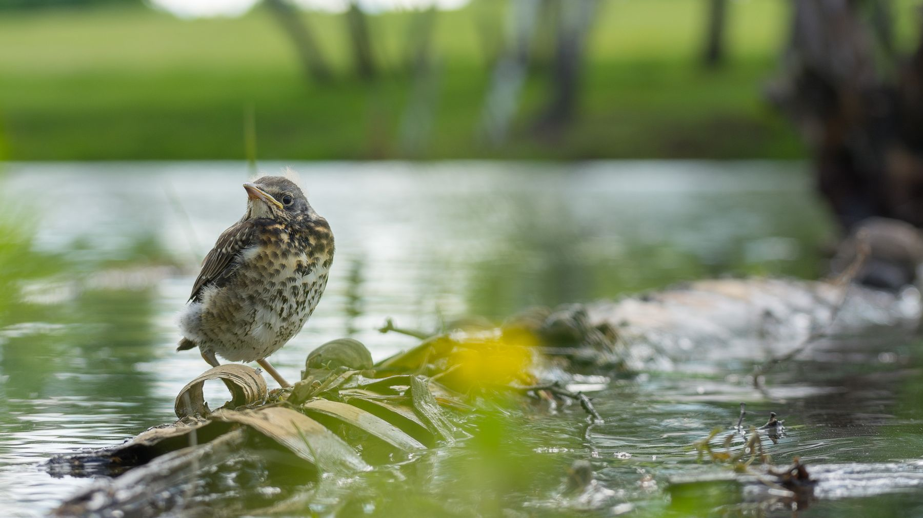 Рябинничёнок Рябинник дрозд птицы фотоохота Сибирь