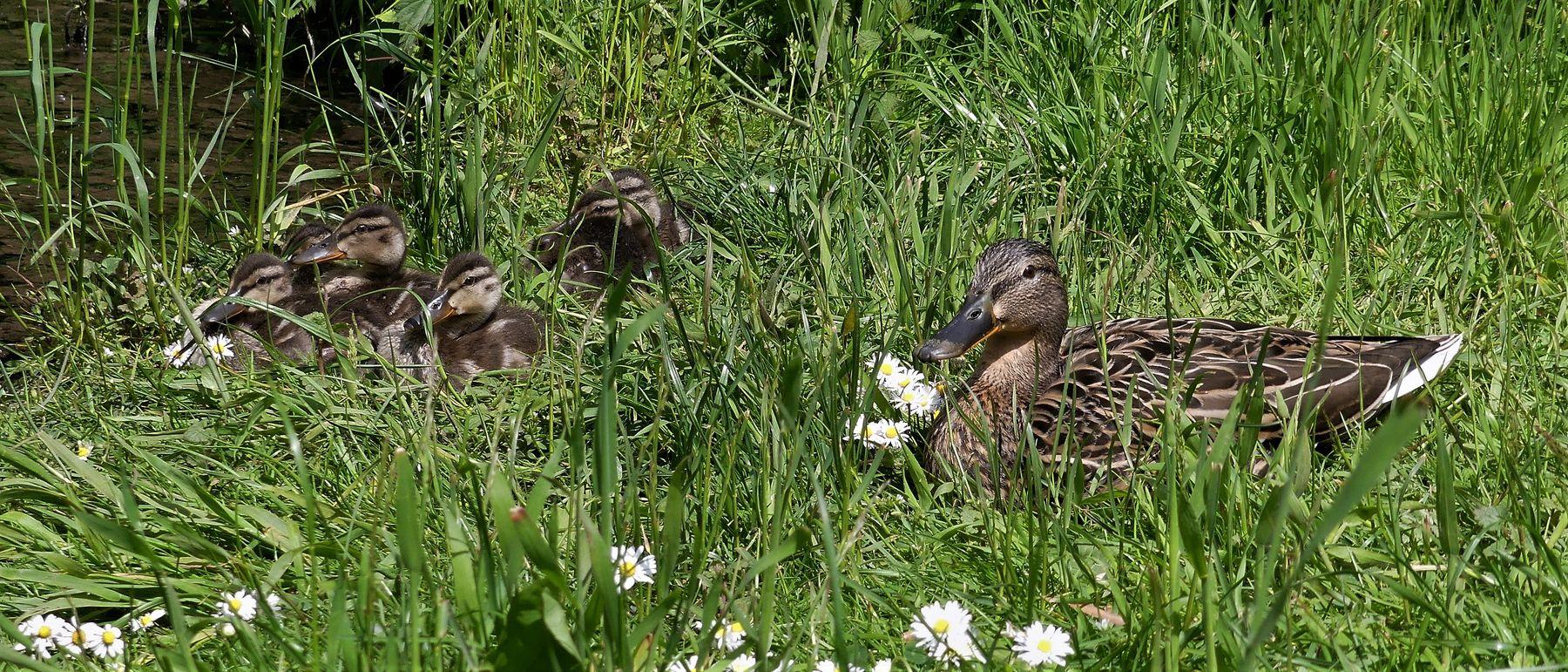 Многодетная мать Природа утка утята
