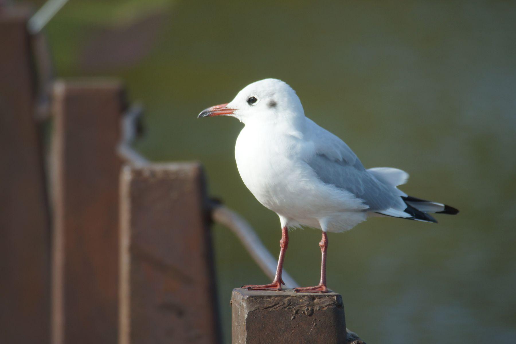 Речная чайка осень Волгоград затон речная чайка