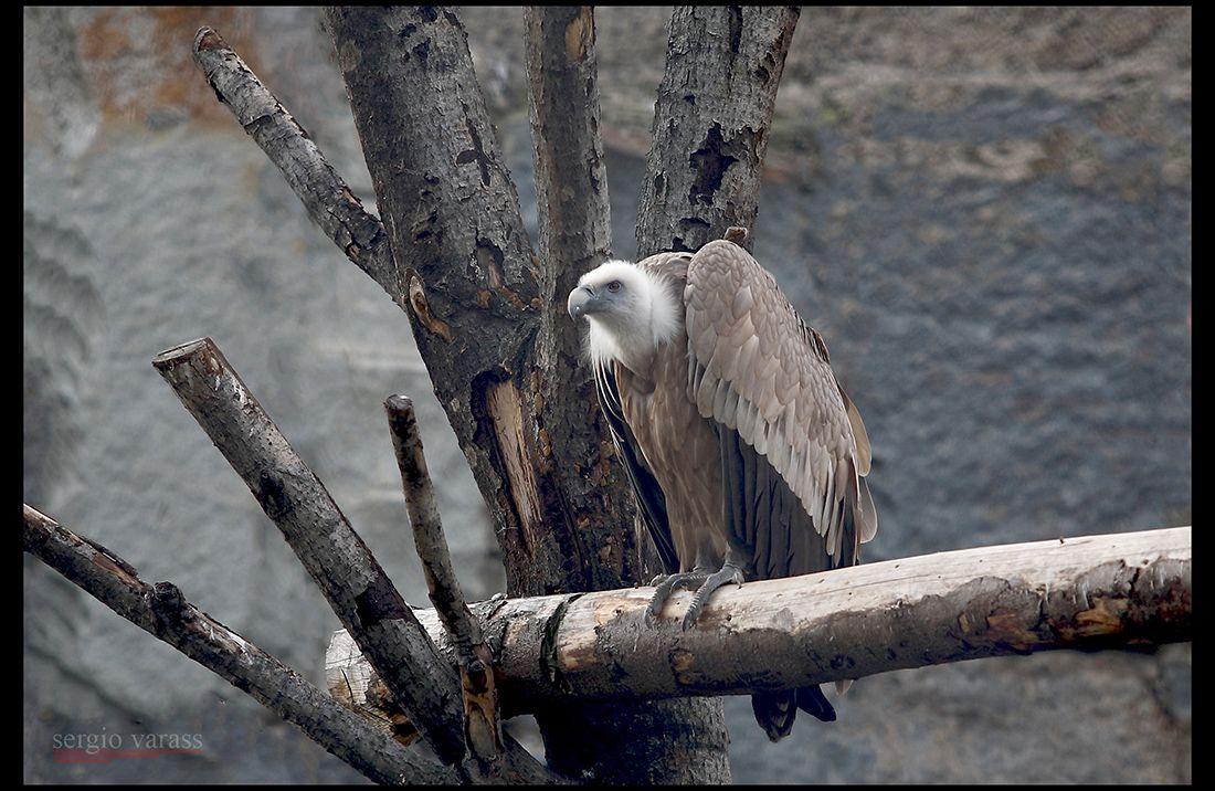 А теперь - Горбатый!... птица кумай белый гриф перья клюв когти