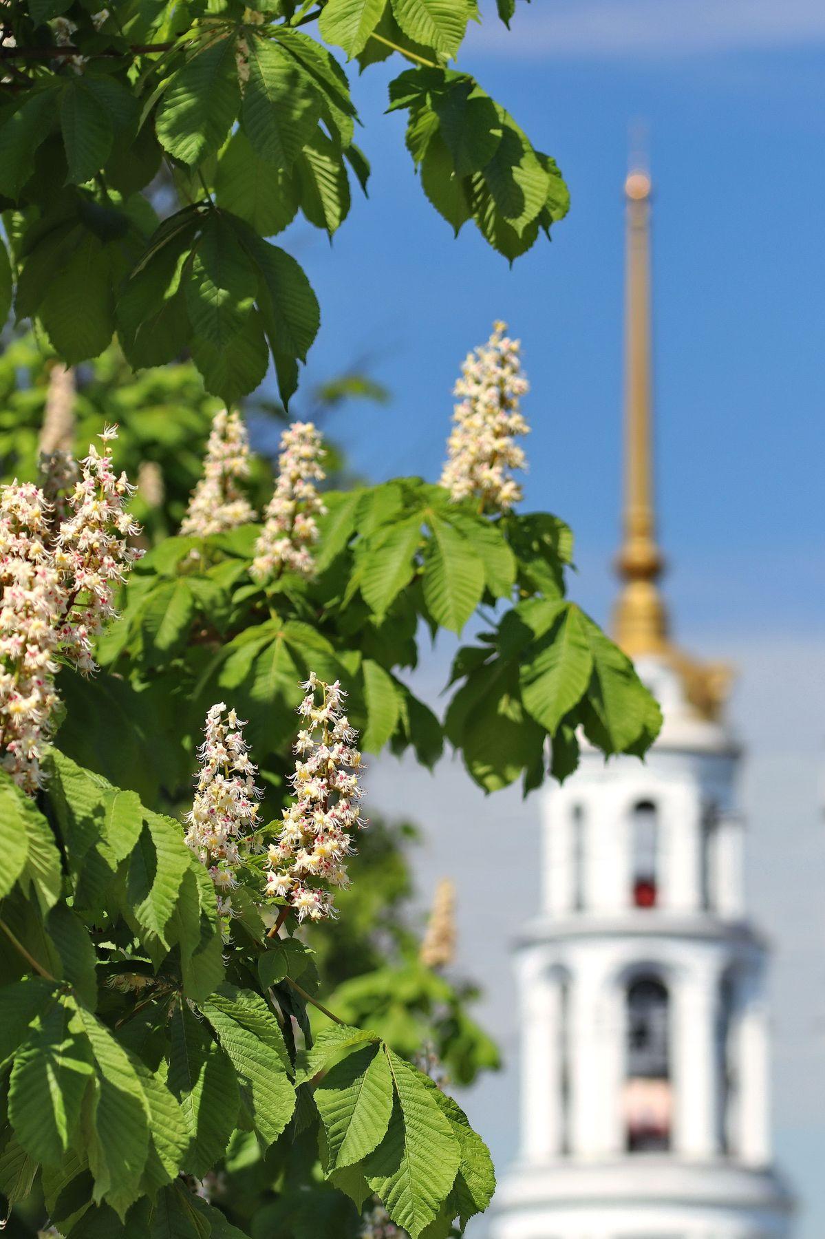 Каштаны зацвели. Шуя, Ивановская область. Шуя Ивановская область город каштан свечки цветы колокольня Воскресенского собора