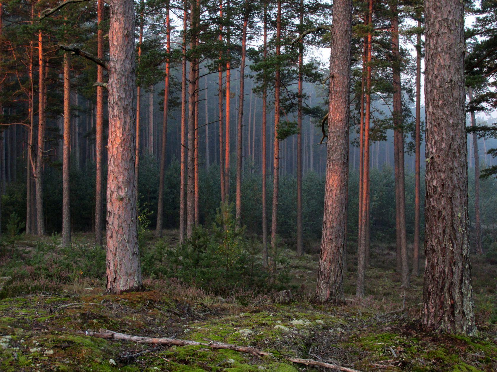 *** утро.лес.сосновый бор.10.09.2021