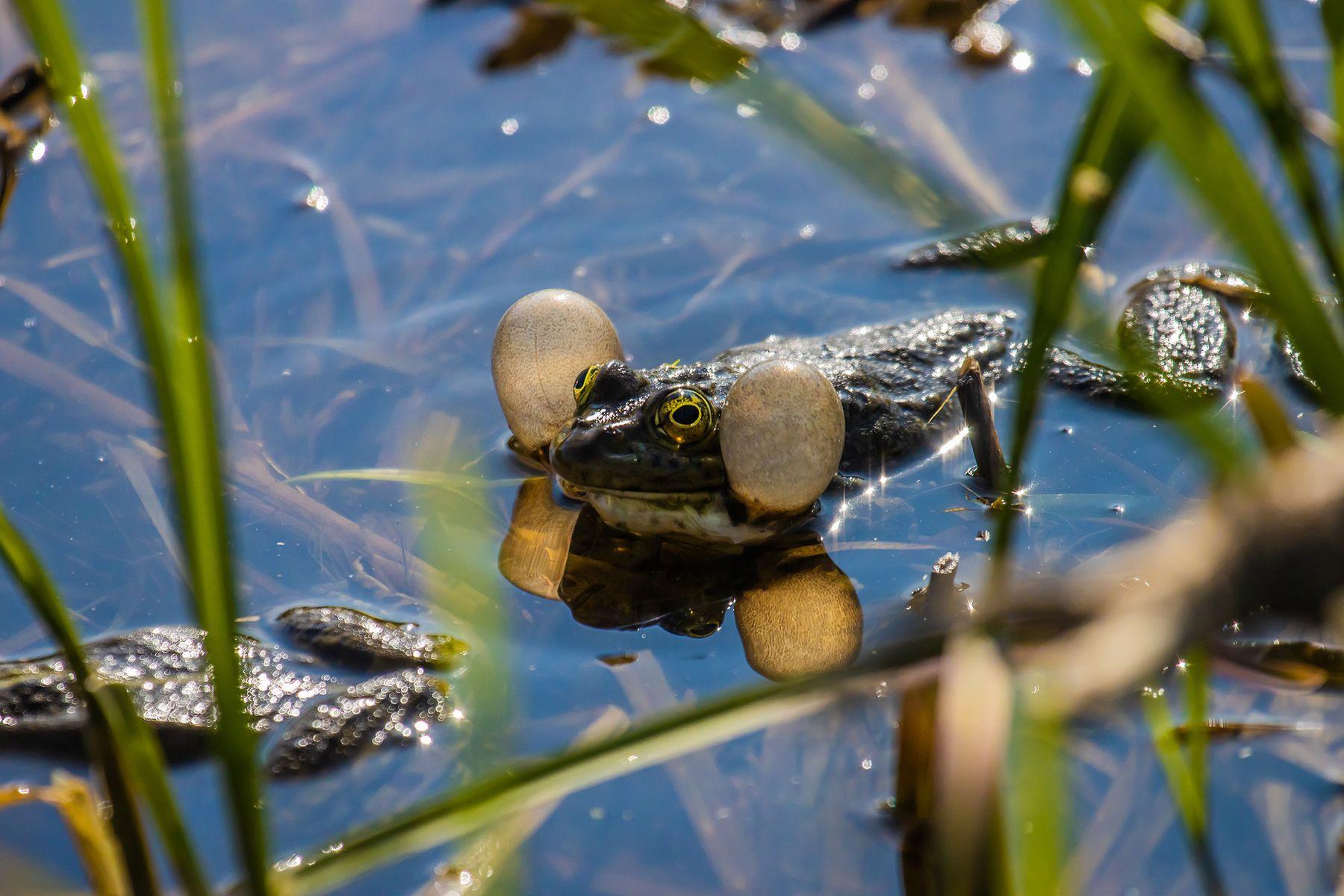 Лягушки поют весело и громко