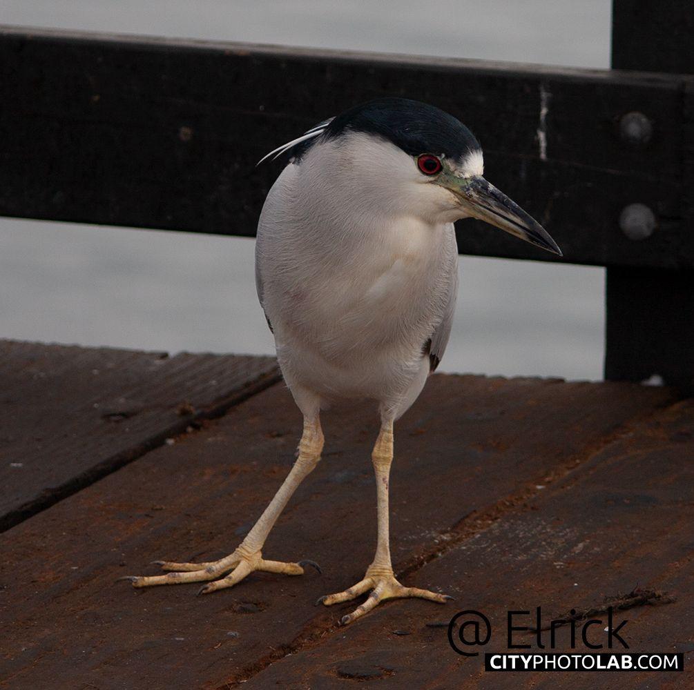 Цапля Цапля heron bird