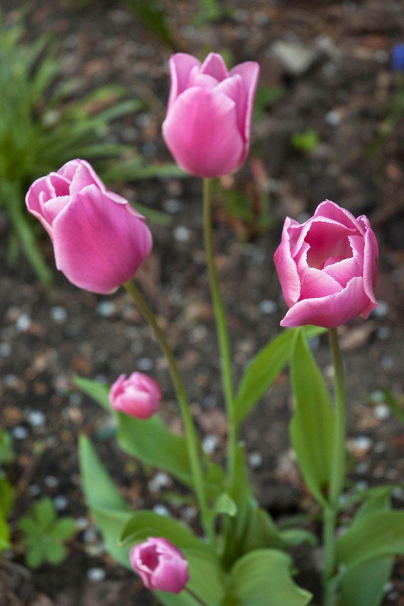 Тюльпаны. весна природа цветы