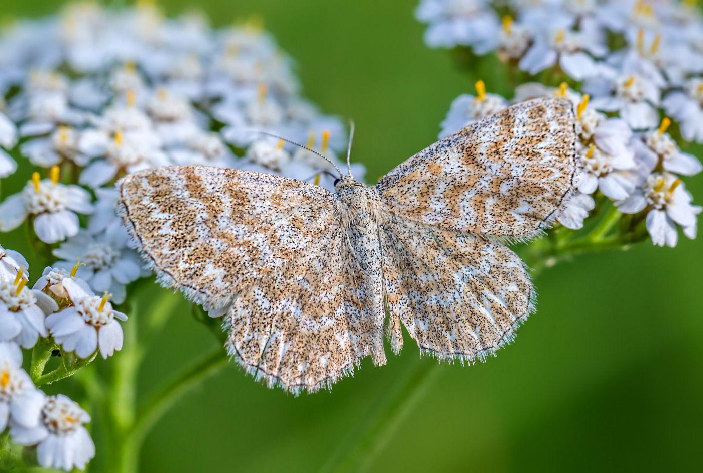Пяденица насекомые бабочка пяденица лето июнь