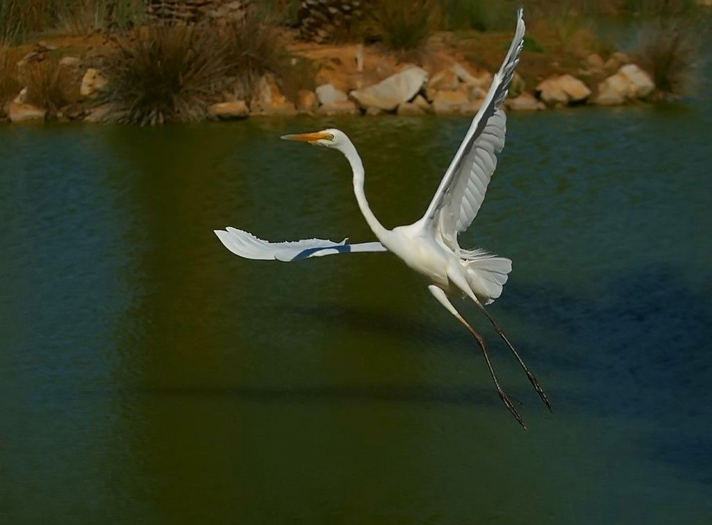 White egret egret цапля