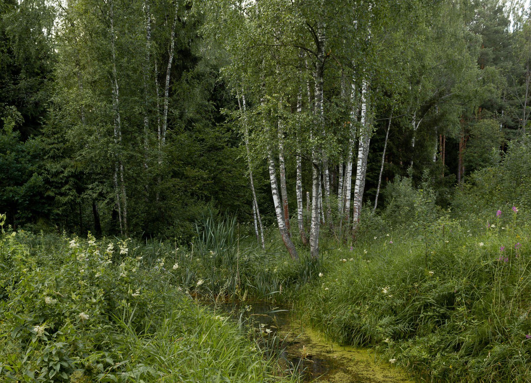 У ручья лето березы ручей