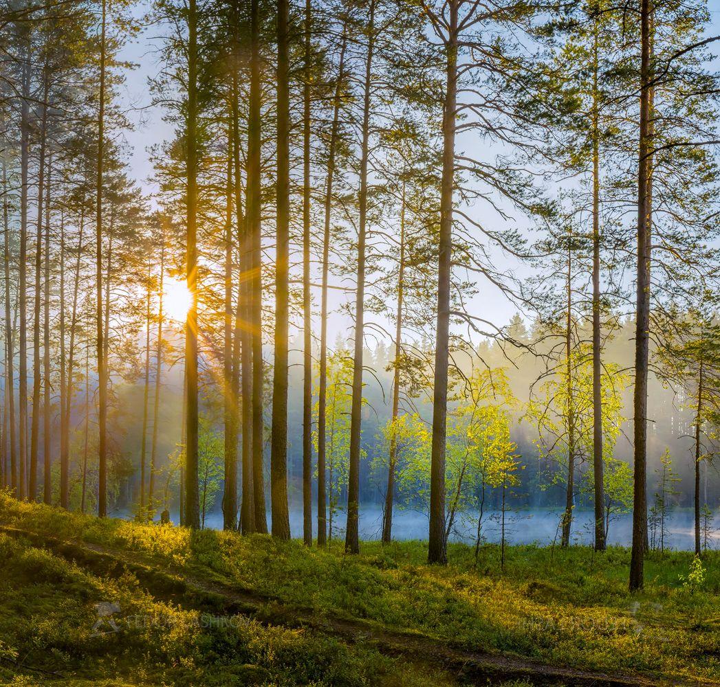 Запах соснового утра Ленинградская область рассвет лето сосны сосновый бор лес туман озеро