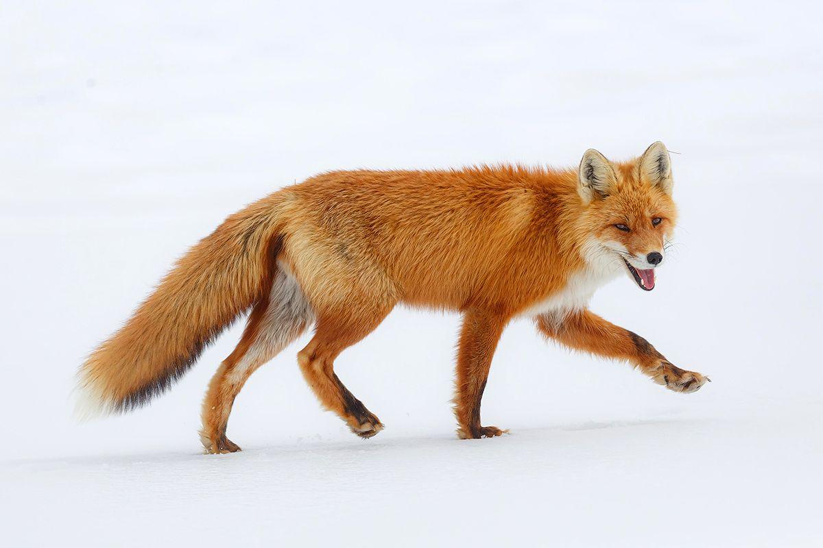 Иду за Весной Камчатка лиса животные природа путешествие фототур весна