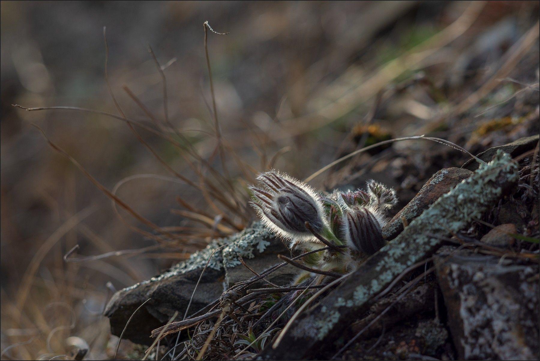 Сон - трава апрель